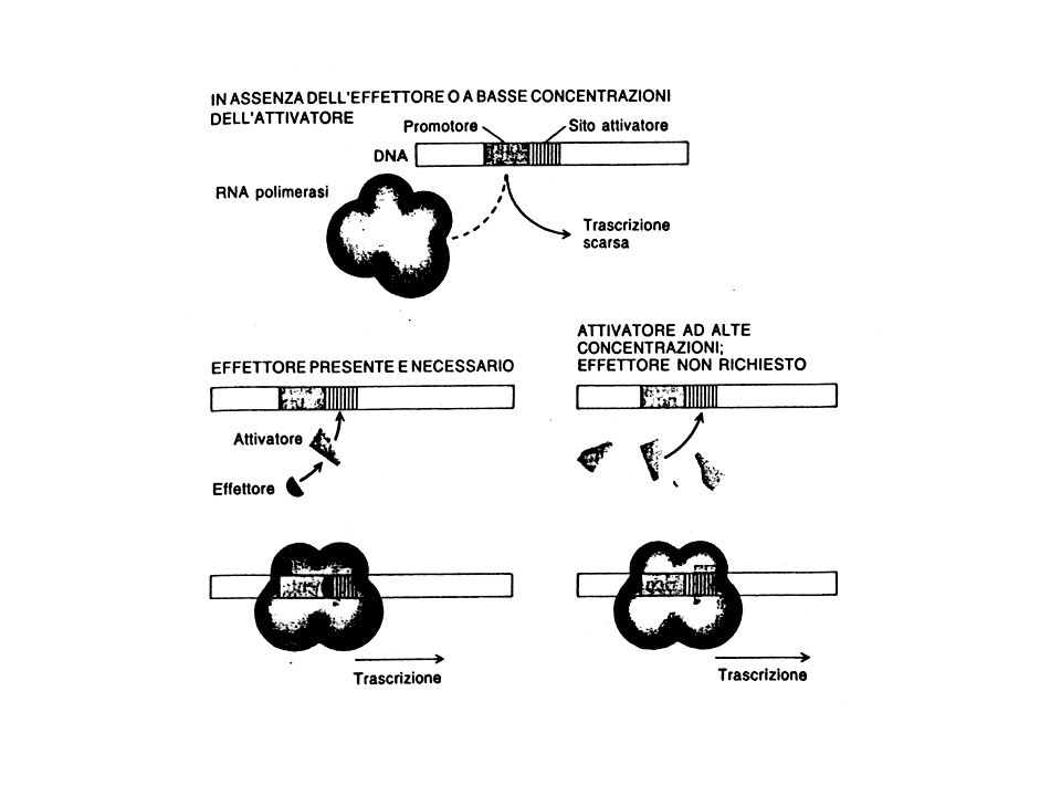 CONTROLLO DELLA TERMINAZIONE DELLA TRASCRIZIONE E meno determinante di quello effettuato sull inizio della trascrizione.