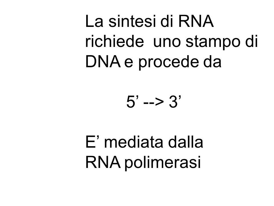 La sintesi di RNA richiede uno stampo di DNA e procede da 5 --> 3 E mediata dalla RNA polimerasi