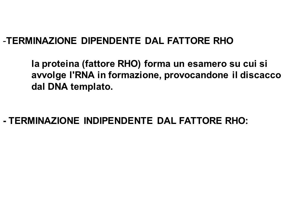 -TERMINAZIONE DIPENDENTE DAL FATTORE RHO la proteina (fattore RHO) forma un esamero su cui si avvolge l'RNA in formazione, provocandone il discacco da