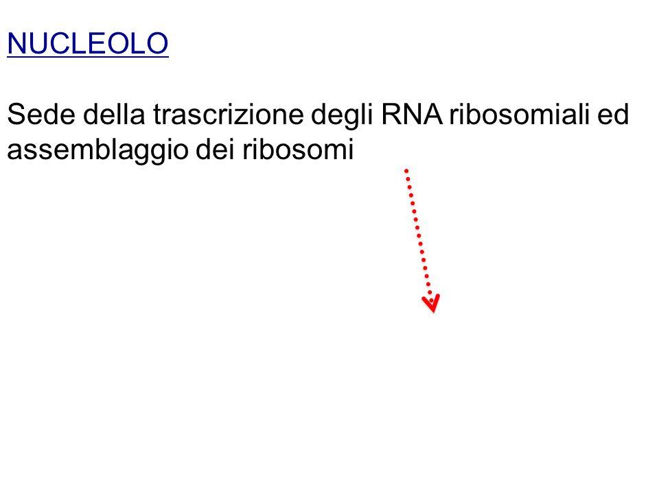 NUCLEOLO Sede della trascrizione degli RNA ribosomiali ed assemblaggio dei ribosomi