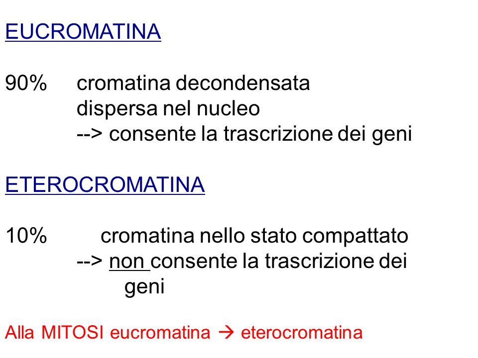 EUCROMATINA 90% cromatina decondensata dispersa nel nucleo --> consente la trascrizione dei geni ETEROCROMATINA 10% cromatina nello stato compattato -