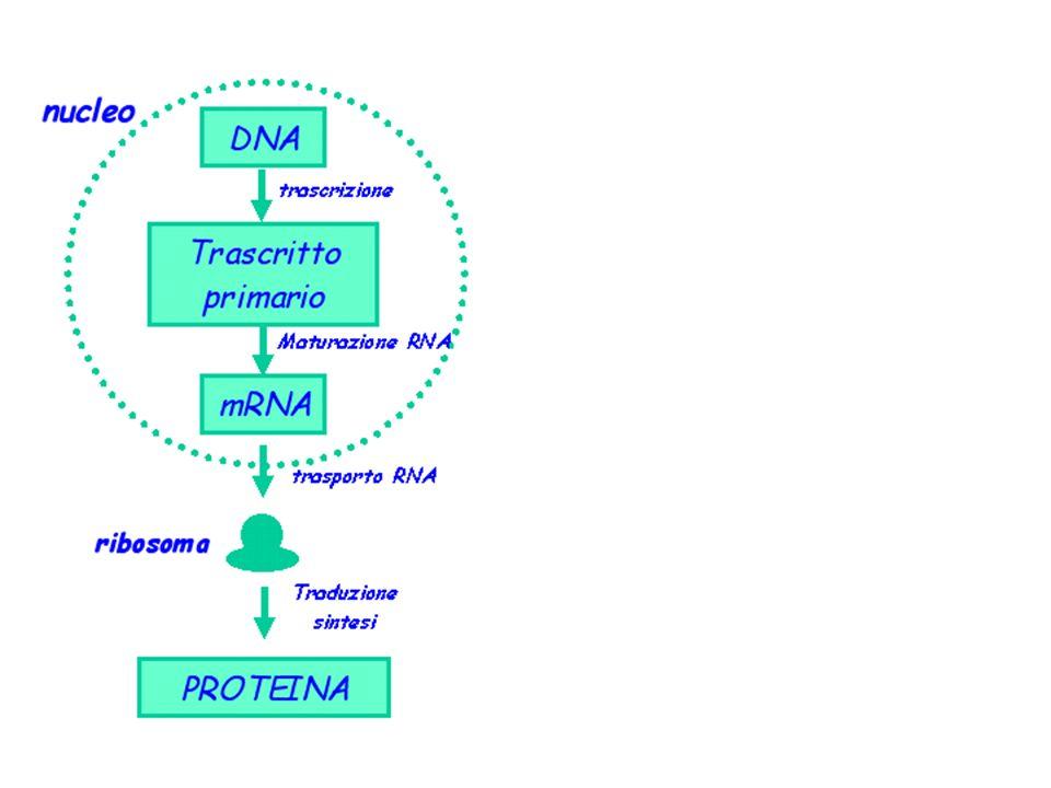 INIZIO TRASCRIZIONE NEGLI EUCARIOTI TRE tipi di RNA polimerasi (nei batteri solo 1) -RNA polimerasi I sintetizza RNA ribosomiale -RNA polimerasi II sintetizza gli mRNA -RNA polimerasi III sintetizza gli piccoli RNA (tRNA, RNA 5S)