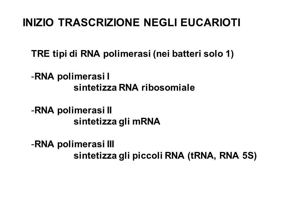 INIZIO TRASCRIZIONE NEGLI EUCARIOTI TRE tipi di RNA polimerasi (nei batteri solo 1) -RNA polimerasi I sintetizza RNA ribosomiale -RNA polimerasi II si