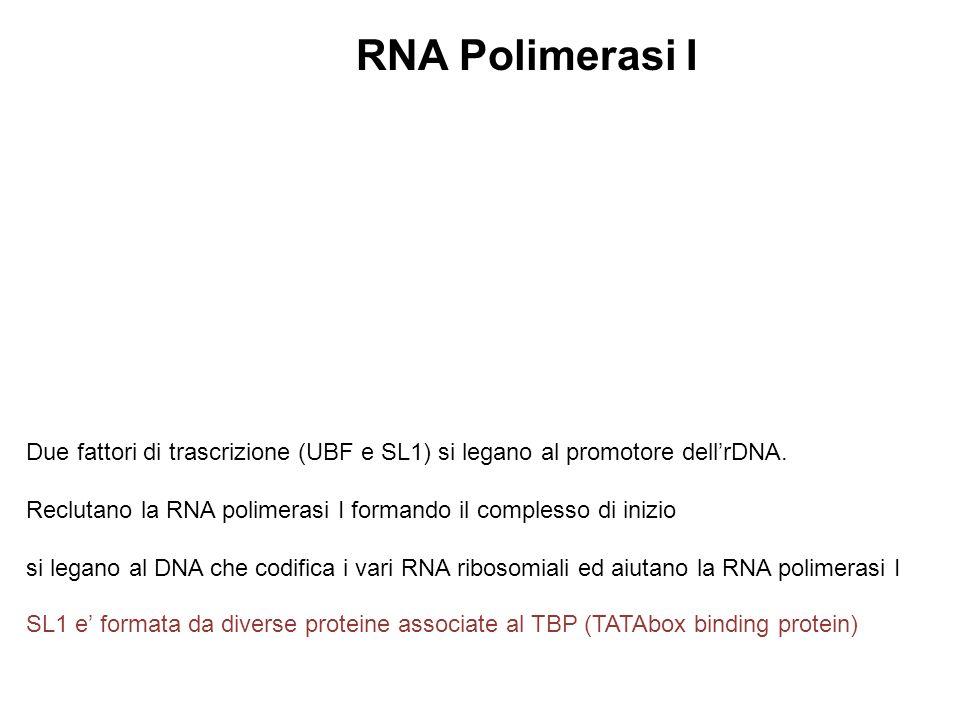 Due fattori di trascrizione (UBF e SL1) si legano al promotore dellrDNA. Reclutano la RNA polimerasi I formando il complesso di inizio si legano al DN