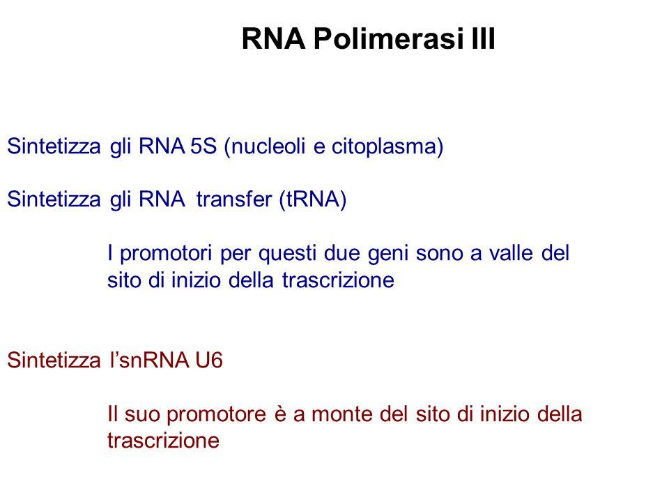 Sintetizza gli RNA 5S (nucleoli e citoplasma) Sintetizza gli RNA transfer (tRNA) I promotori per questi due geni sono a valle del sito di inizio della