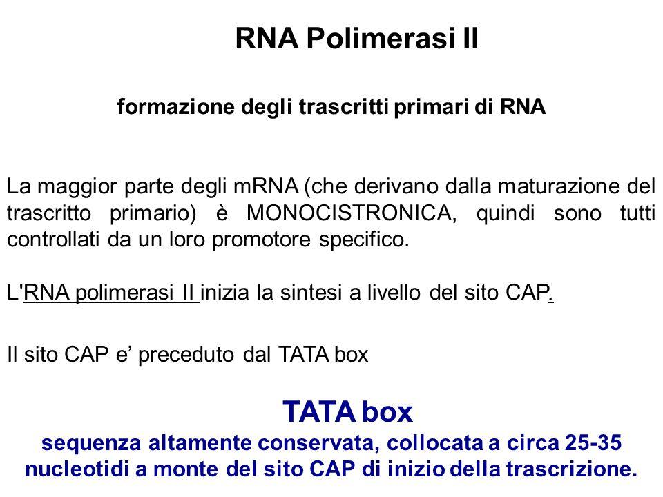 formazione degli trascritti primari di RNA La maggior parte degli mRNA (che derivano dalla maturazione del trascritto primario) è MONOCISTRONICA, quin