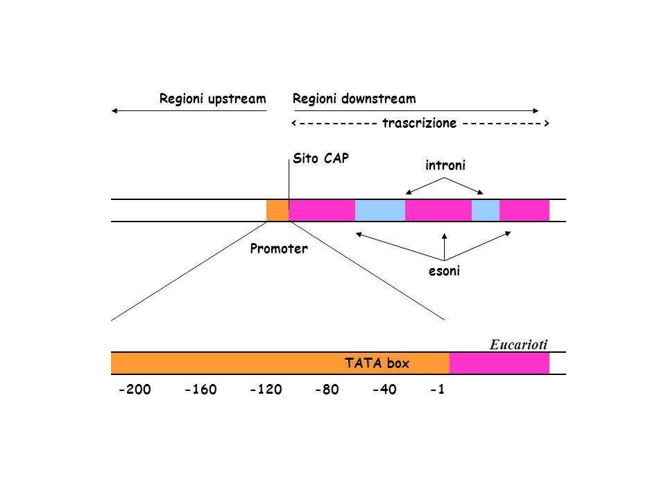 Promoter introni Sito CAP esoni Regioni upstreamRegioni downstream Eucarioti TATA box -200 -160 -120 -80 -40 -1