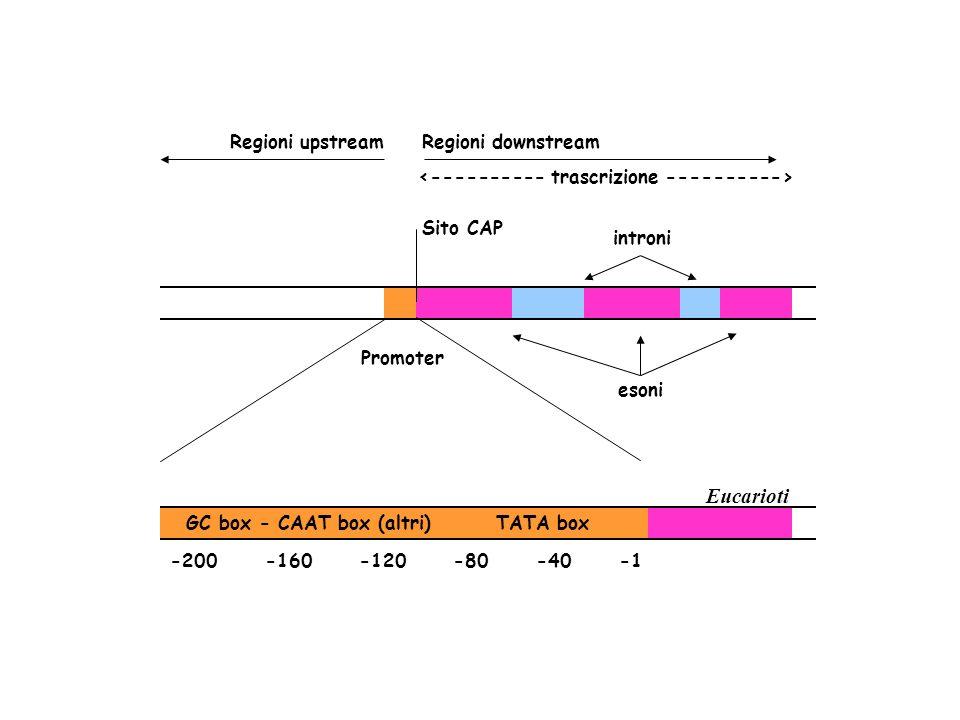 Promoter introni Sito CAP esoni Regioni upstreamRegioni downstream Eucarioti GC box - CAAT box (altri) TATA box -200 -160 -120 -80 -40 -1