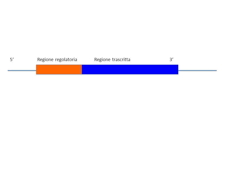 5 Regione regolatoria Regione trascritta3