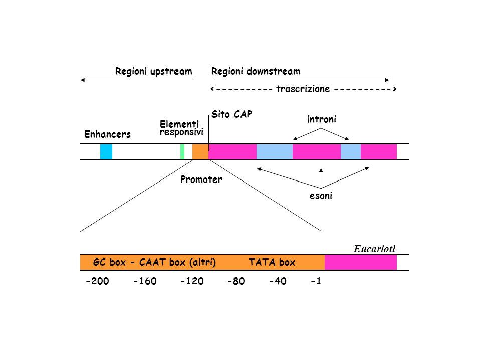 Enhancers Elementi responsivi Promoter introni Sito CAP esoni Regioni upstreamRegioni downstream Eucarioti GC box - CAAT box (altri) TATA box -200 -16