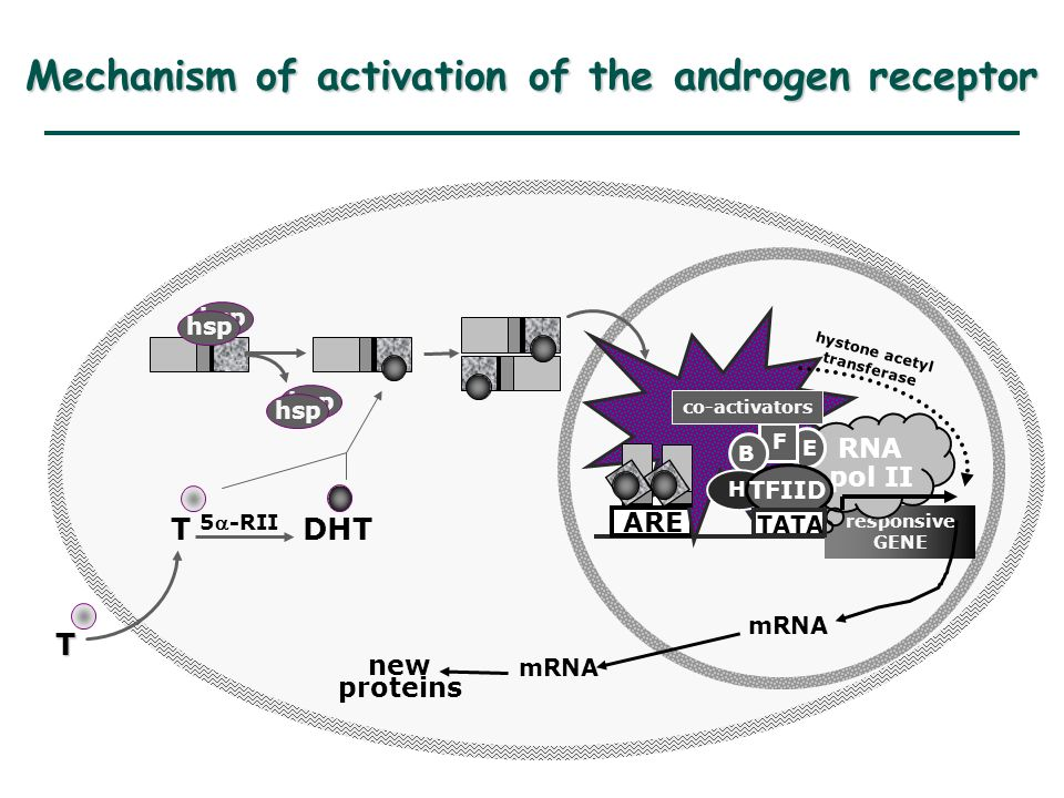 responsive GENE ARE hsp T T DHT 5-RII mRNA new proteins RNA pol II TFIID E hystone acetyl transferase co-activators F B H TATA Mechanism of activation