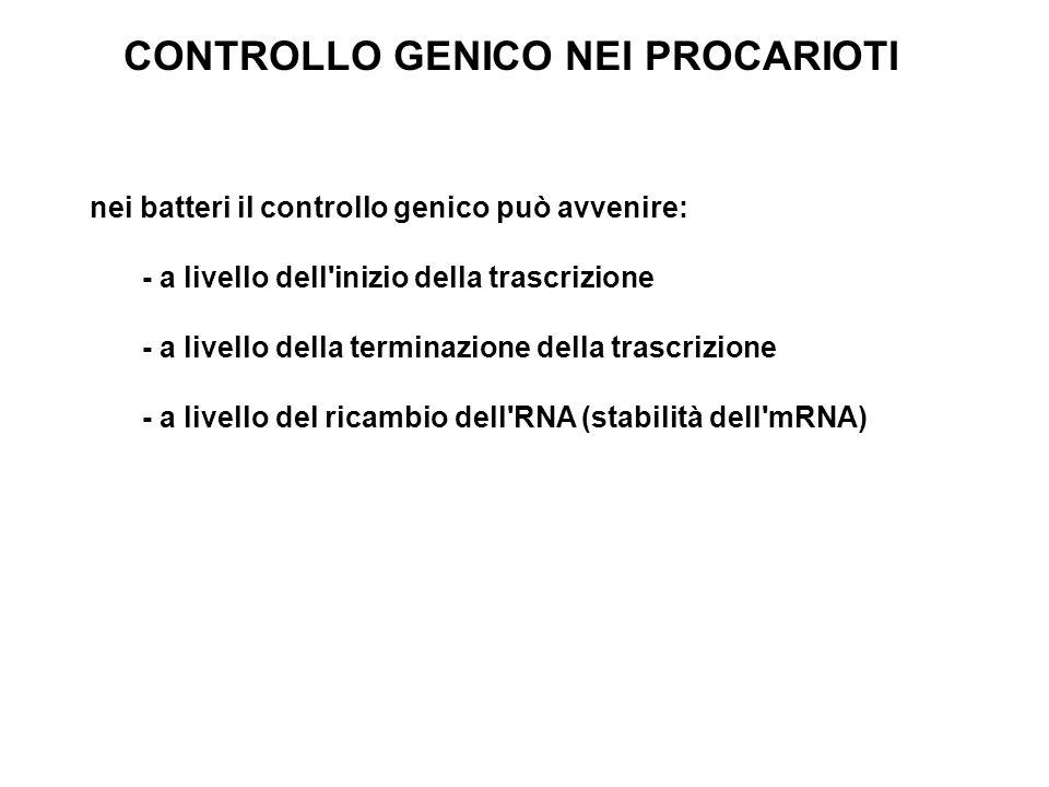 CONTROLLO GENICO NEI PROCARIOTI nei batteri il controllo genico può avvenire: - a livello dell'inizio della trascrizione - a livello della terminazion