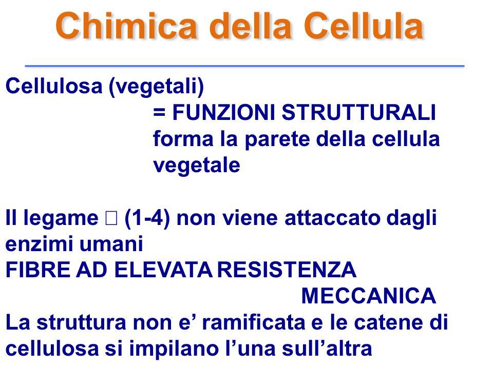 Chimica della Cellula Cellulosa (vegetali) = FUNZIONI STRUTTURALI forma la parete della cellula vegetale Il legame (1-4) non viene attaccato dagli enz