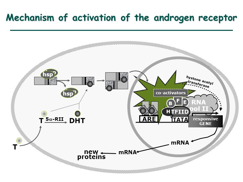 RNA pol II mRNA new proteins responsive GENE ARE TFIID E hystone acetyl transferase co-activators F B hsp T T DHT 5-RII H TATA Mechanism of activation