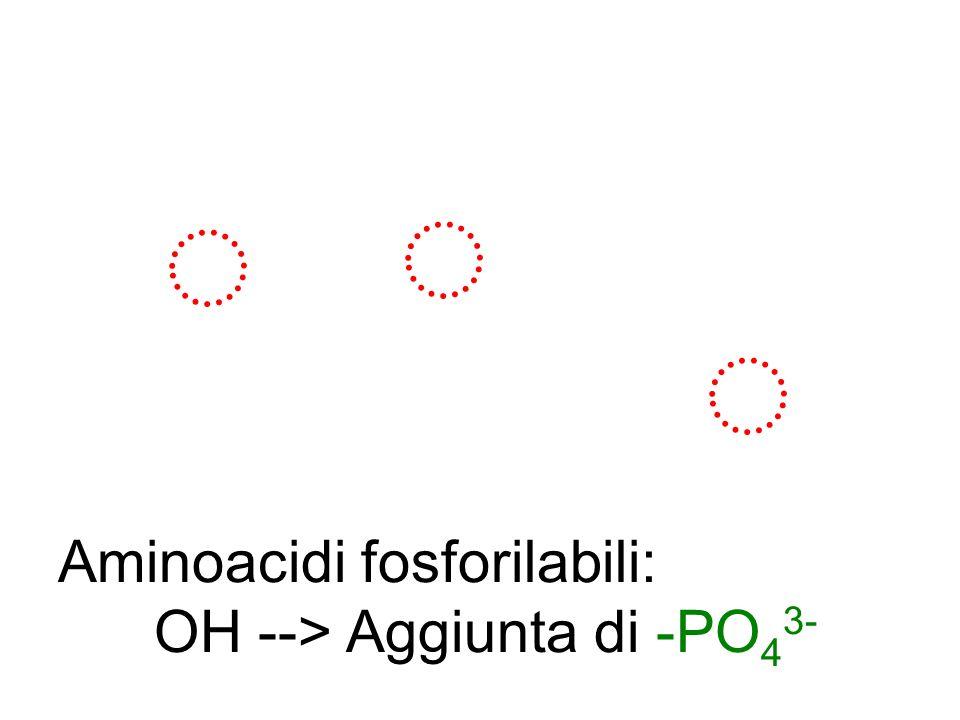 Aminoacidi fosforilabili: OH -->Aggiunta di -PO 4 3-
