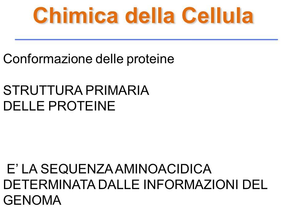 Chimica della Cellula Conformazione delle proteine STRUTTURA PRIMARIA DELLE PROTEINE E LA SEQUENZA AMINOACIDICA DETERMINATA DALLE INFORMAZIONI DEL GEN