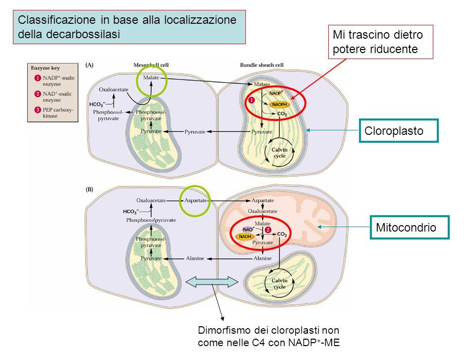 Mi trascino dietro potere riducente CloroplastoMitocondrio Classificazione in base alla localizzazione della decarbossilasi Dimorfismo dei cloroplasti