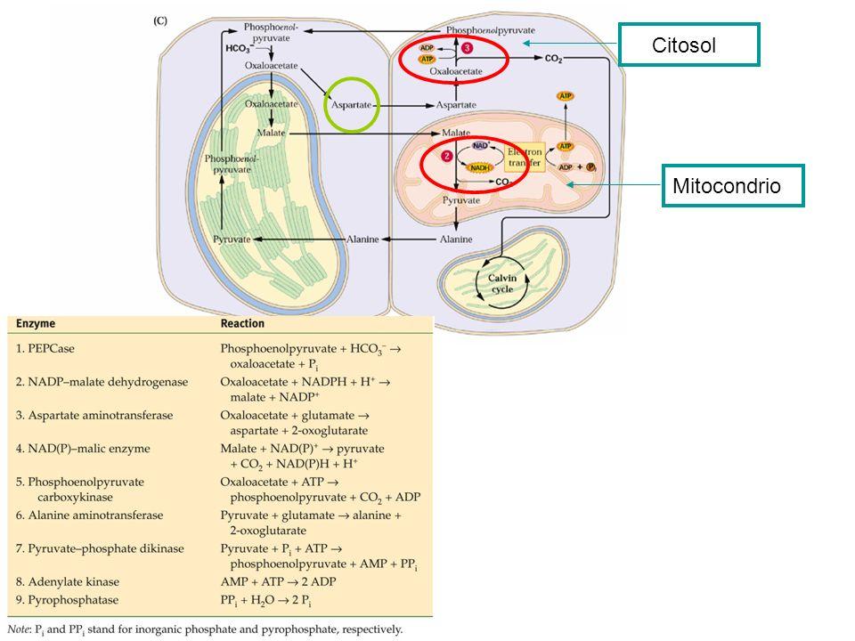 CitosolMitocondrio