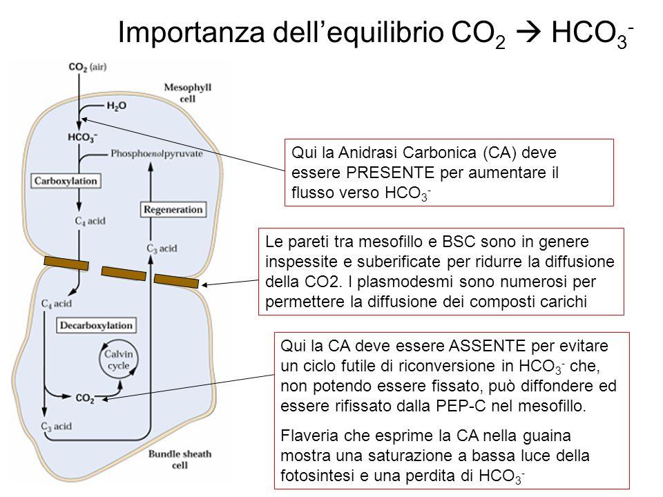 Importanza dellequilibrio CO 2 HCO 3 - Qui la Anidrasi Carbonica (CA) deve essere PRESENTE per aumentare il flusso verso HCO 3 - Qui la CA deve essere