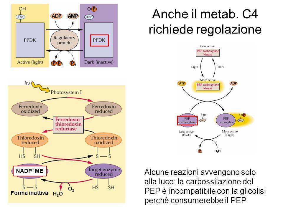 Anche il metab. C4 richiede regolazione Alcune reazioni avvengono solo alla luce: la carbossilazione del PEP è incompatibile con la glicolisi perchè c