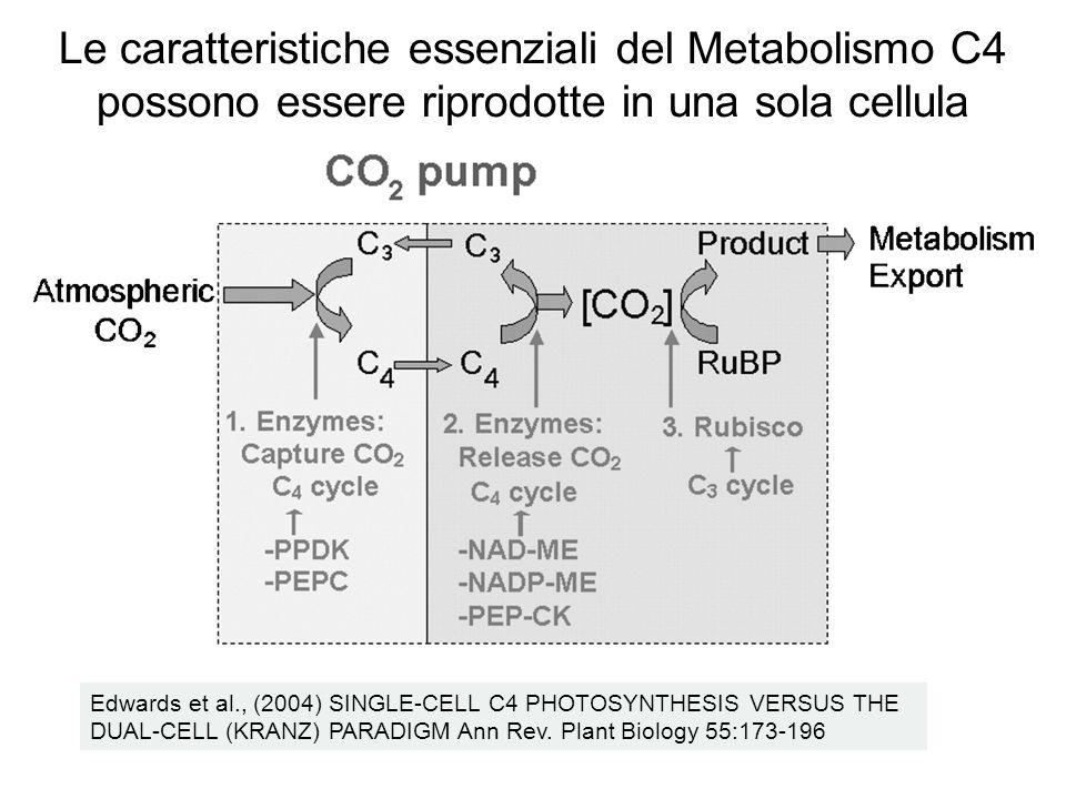 Edwards et al., (2004) SINGLE-CELL C4 PHOTOSYNTHESIS VERSUS THE DUAL-CELL (KRANZ) PARADIGM Ann Rev. Plant Biology 55:173-196 Le caratteristiche essenz