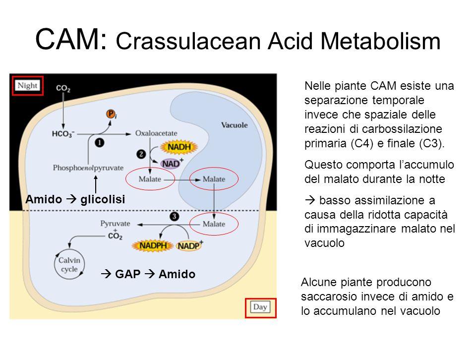 CAM: Crassulacean Acid Metabolism Nelle piante CAM esiste una separazione temporale invece che spaziale delle reazioni di carbossilazione primaria (C4