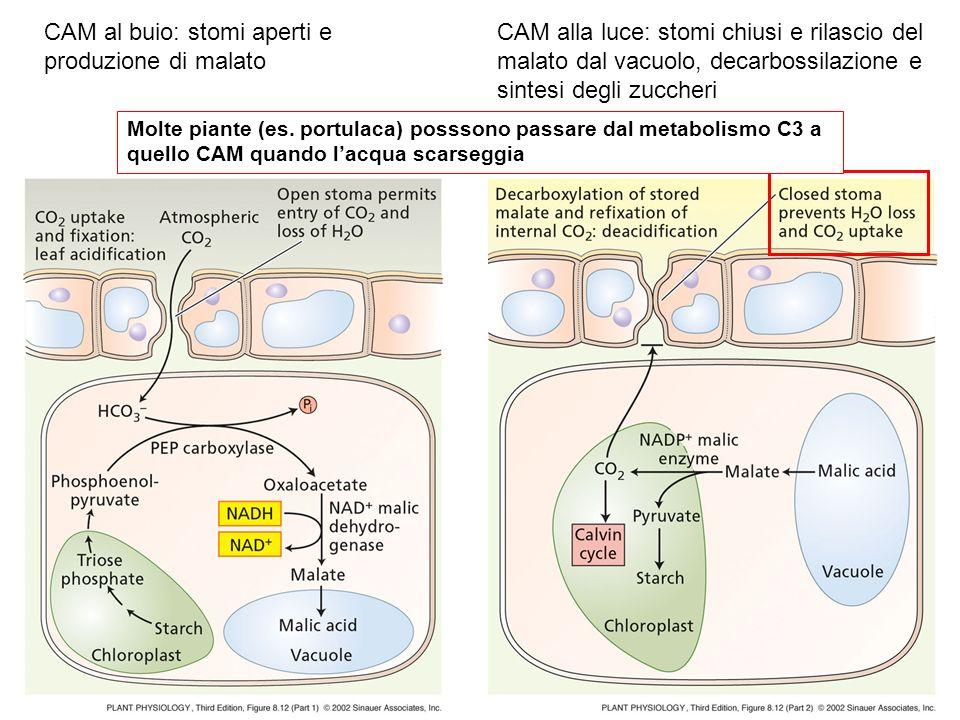 CAM al buio: stomi aperti e produzione di malato CAM alla luce: stomi chiusi e rilascio del malato dal vacuolo, decarbossilazione e sintesi degli zucc