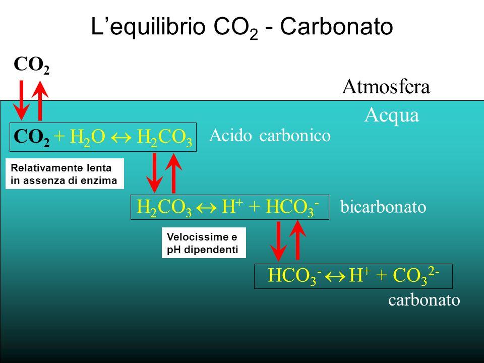 La concentrazione delle varie specie dipende dal pH K 1 K 2 CO 2 + H 2 O HCO 3 - + H + CO 3 2- + 2H + Bjerrum Plot: pH = 8.1 T = 25 0 C, S = 35 [CO 2 ] : [HCO 3 - ] : [CO 3 = ] 0.5% : 86.5% : 13% (Zeebe & Wolf-Gladrow, 2002) bicarbonatocarbonato Per una soluzione a pH 8 allequilibrio, la specie HCO 3 - è molto più abbondante della CO 2