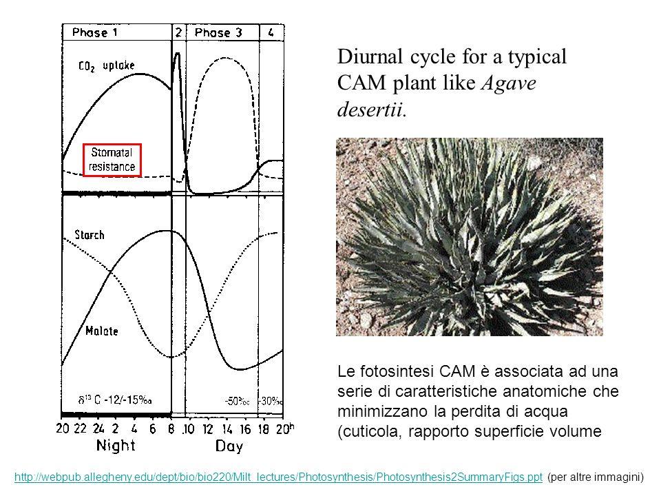 Diurnal cycle for a typical CAM plant like Agave desertii. Le fotosintesi CAM è associata ad una serie di caratteristiche anatomiche che minimizzano l