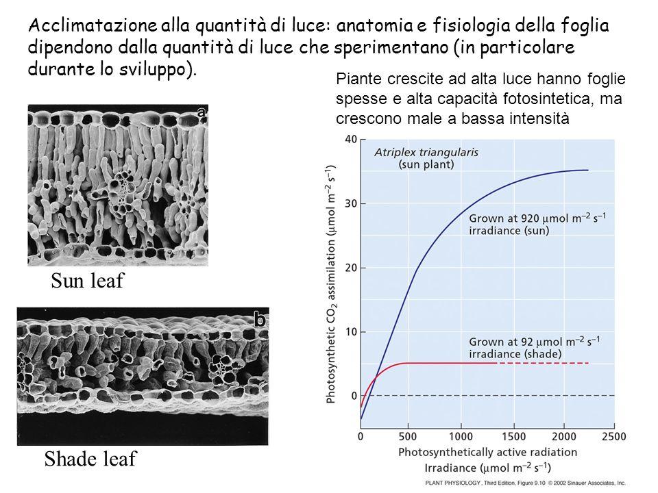 Shade leaf Sun leaf Acclimatazione alla quantità di luce: anatomia e fisiologia della foglia dipendono dalla quantità di luce che sperimentano (in par