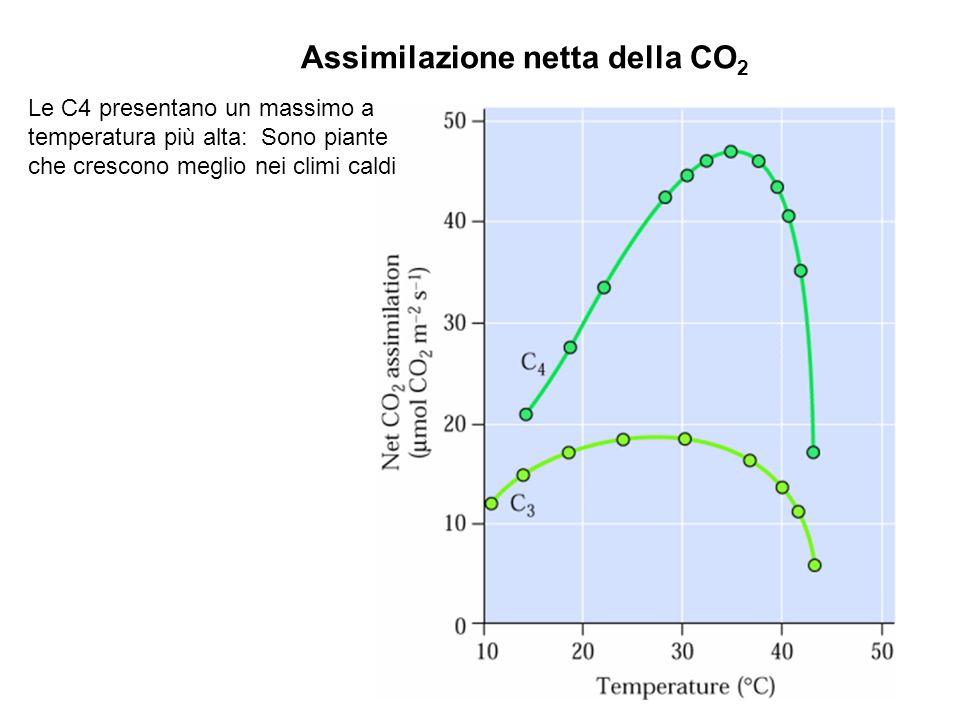 Assimilazione netta della CO 2 Le C4 presentano un massimo a temperatura più alta: Sono piante che crescono meglio nei climi caldi