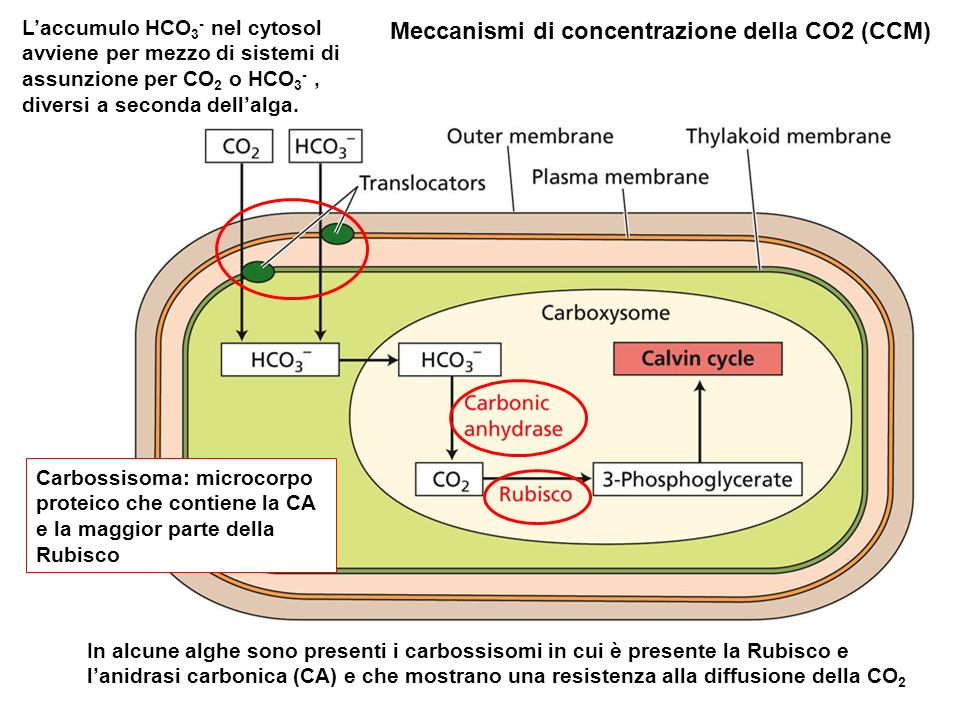 In alcune alghe sono presenti i carbossisomi in cui è presente la Rubisco e lanidrasi carbonica (CA) e che mostrano una resistenza alla diffusione del