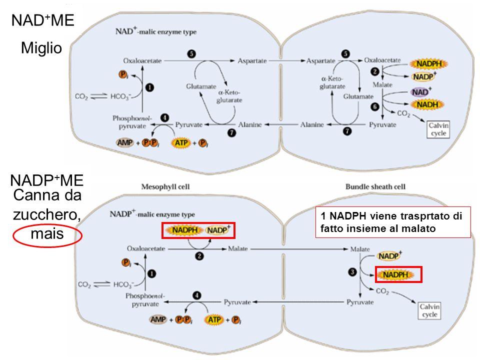Cloroplasto della guaina del fascio (BSC) (poca attività di PSII) Cloroplasti del mesofillo Dimorfismo dei cloroplasti delle piante C4.