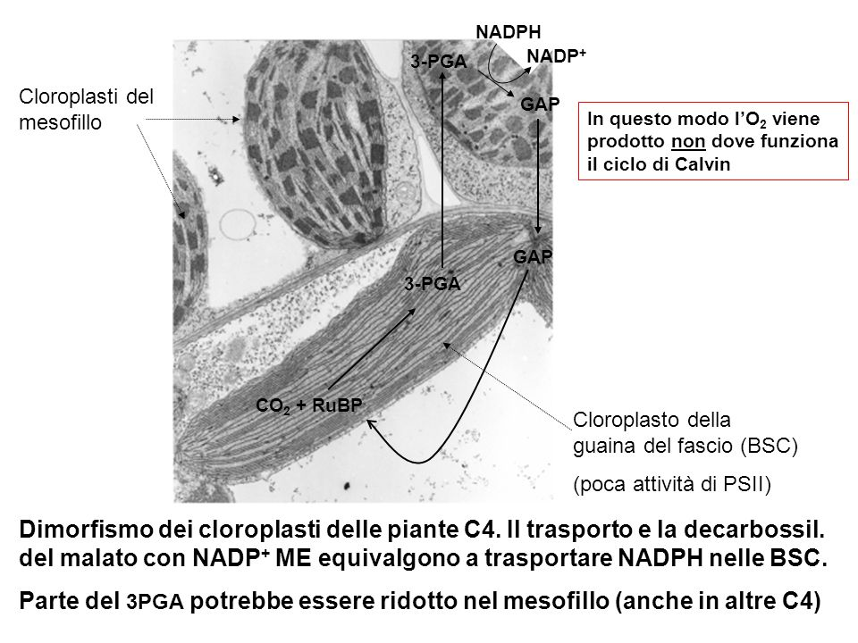 Cloroplasto della guaina del fascio (BSC) (poca attività di PSII) Cloroplasti del mesofillo Dimorfismo dei cloroplasti delle piante C4. Il trasporto e