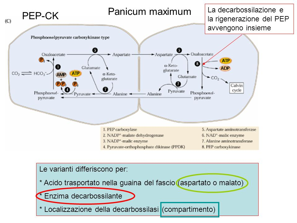 PEP-CK Le varianti differiscono per: * Acido trasportato nella guaina del fascio (aspartato o malato) * Enzima decarbossilante * Localizzazione della