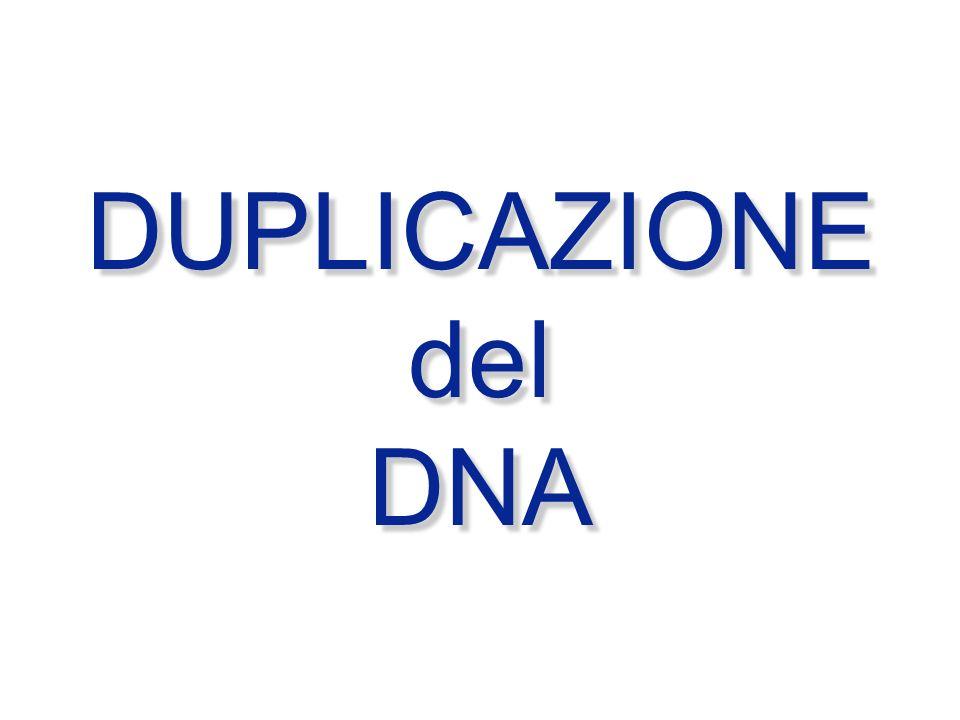 DUPLICAZIONE del DNA DUPLICAZIONE del DNA