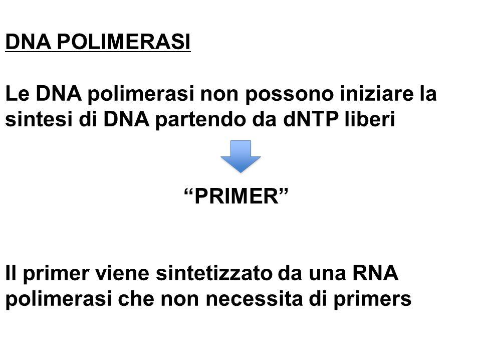DNA POLIMERASI Le DNA polimerasi non possono iniziare la sintesi di DNA partendo da dNTP liberi PRIMER Il primer viene sintetizzato da una RNA polimer