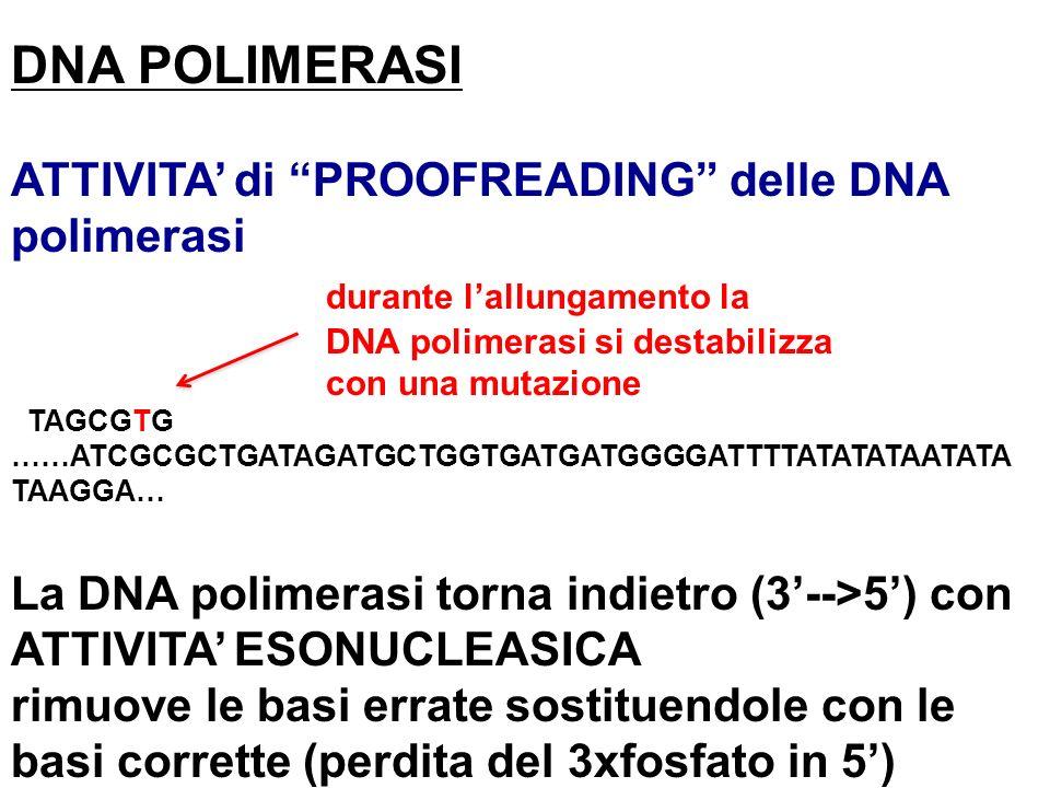 DNA POLIMERASI ATTIVITA di PROOFREADING delle DNA polimerasi durante lallungamento la DNA polimerasi si destabilizza con una mutazione TAGCGTG ……ATCGC
