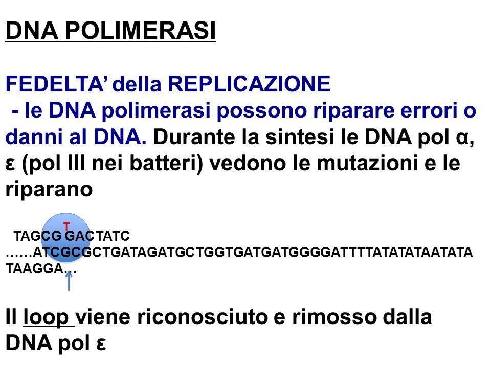 DNA POLIMERASI FEDELTA della REPLICAZIONE - le DNA polimerasi possono riparare errori o danni al DNA. Durante la sintesi le DNA pol α, ε (pol III nei