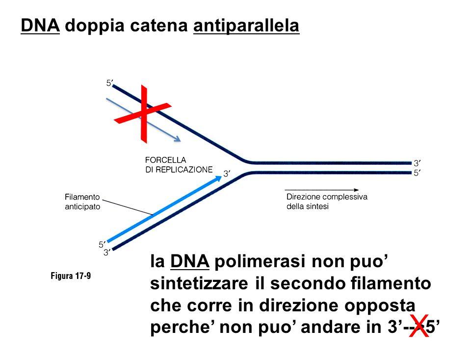 DNA doppia catena antiparallela X la DNA polimerasi non puo sintetizzare il secondo filamento che corre in direzione opposta perche non puo andare in