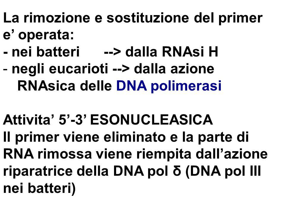 La rimozione e sostituzione del primer e operata: - nei batteri --> dalla RNAsi H - negli eucarioti --> dalla azione RNAsica delle DNA polimerasi Atti