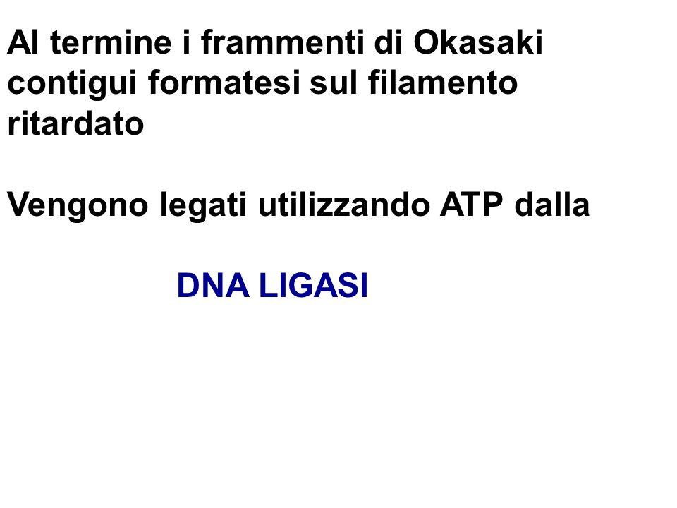 Al termine i frammenti di Okasaki contigui formatesi sul filamento ritardato Vengono legati utilizzando ATP dalla DNA LIGASI
