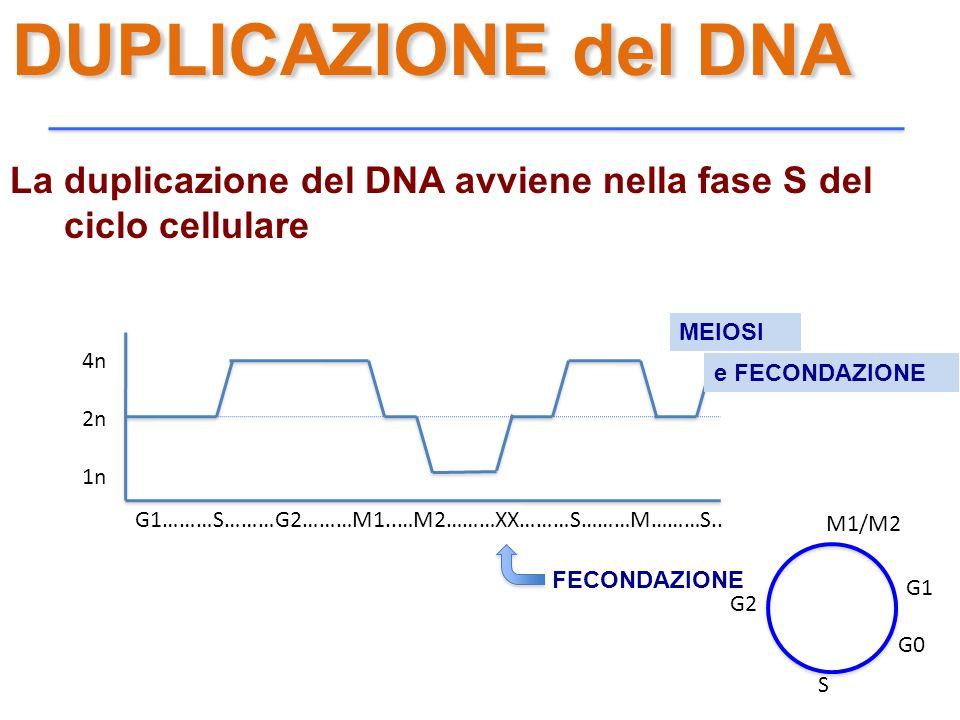 DUPLICAZIONE del DNA La duplicazione del DNA avviene nella fase S del ciclo cellulare G1………S………G2………M1..…M2………XX………S………M………S.. 4n 2n 1n MEIOSI e FECON