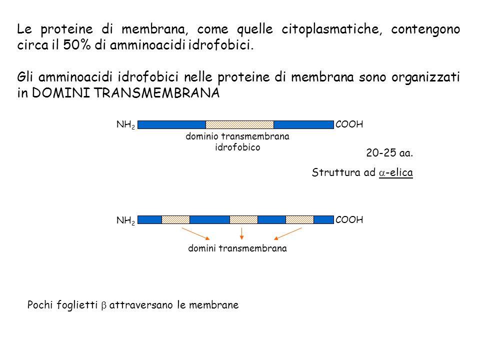 Le proteine di membrana, come quelle citoplasmatiche, contengono circa il 50% di amminoacidi idrofobici. Gli amminoacidi idrofobici nelle proteine di