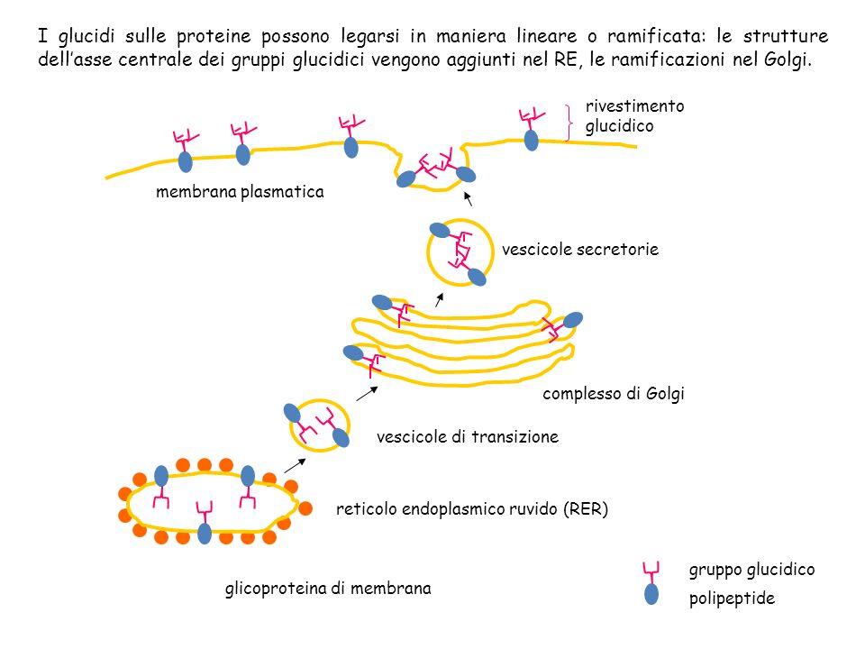 glicoproteina di membrana reticolo endoplasmico ruvido (RER) vescicole di transizione complesso di Golgi vescicole secretorie membrana plasmatica rive