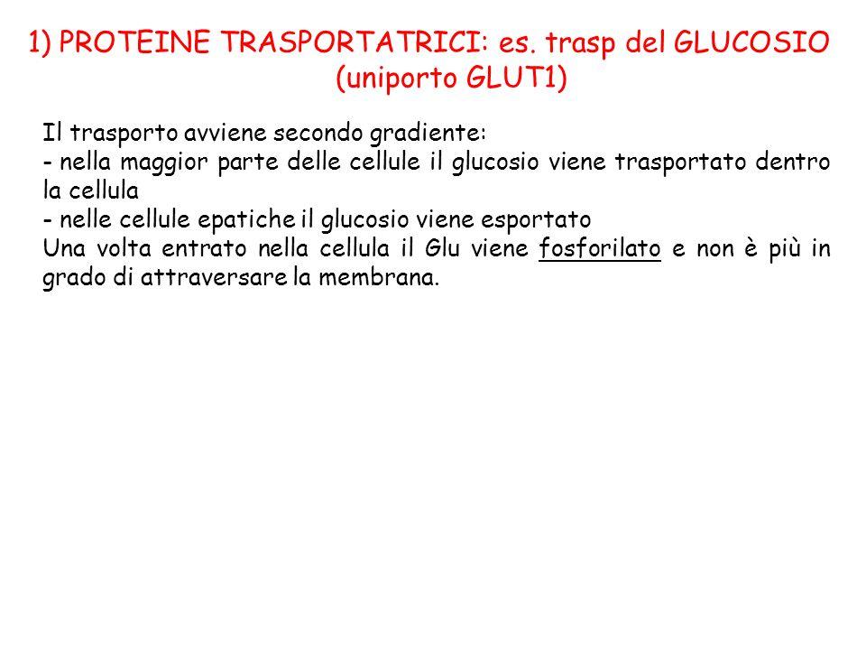 1) PROTEINE TRASPORTATRICI: es. trasp del GLUCOSIO (uniporto GLUT1) Il trasporto avviene secondo gradiente: - nella maggior parte delle cellule il glu