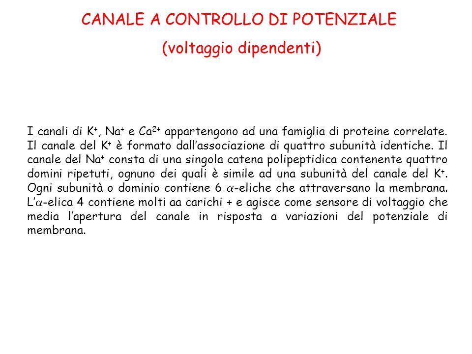 CANALE A CONTROLLO DI POTENZIALE (voltaggio dipendenti) I canali di K +, Na + e Ca 2+ appartengono ad una famiglia di proteine correlate. Il canale de
