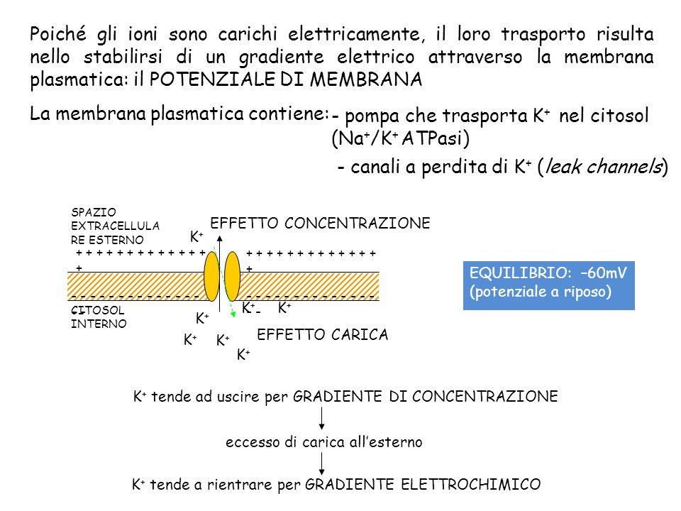 Poiché gli ioni sono carichi elettricamente, il loro trasporto risulta nello stabilirsi di un gradiente elettrico attraverso la membrana plasmatica: i