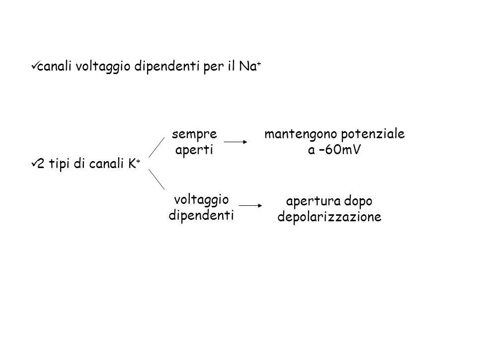 2 tipi di canali K + sempre aperti voltaggio dipendenti canali voltaggio dipendenti per il Na + mantengono potenziale a –60mV apertura dopo depolarizz