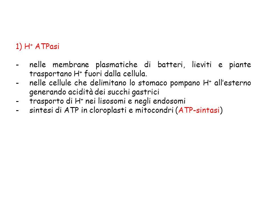 1) H + ATPasi -nelle membrane plasmatiche di batteri, lieviti e piante trasportano H + fuori dalla cellula. -nelle cellule che delimitano lo stomaco p